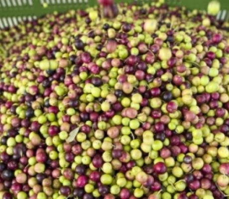 Olio di Reggello, sospesa la rassegna per produzione quasi azzerata