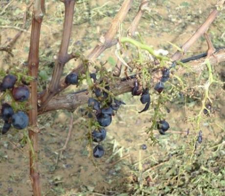 Maltempo colpisce l'agricoltura toscana, - 90% fatturato aziende agricole