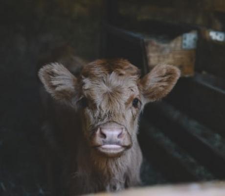 Stop alla macellazione nel carcere di Gorgona, 600 animali salvi
